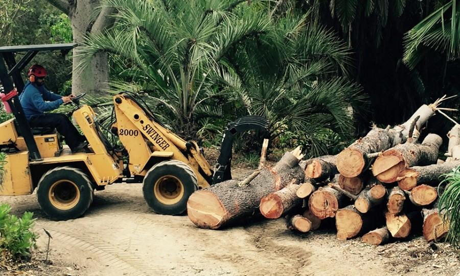 Lumber+from+a+diseased+historic+Torrey+pine+tree+is+collected+June+29+as+the+tree+is+removed+at+the+San+Diego+Botanic+Garden+in+Encinitas.+%28San+Diego+Botanic+Garden+photo%29