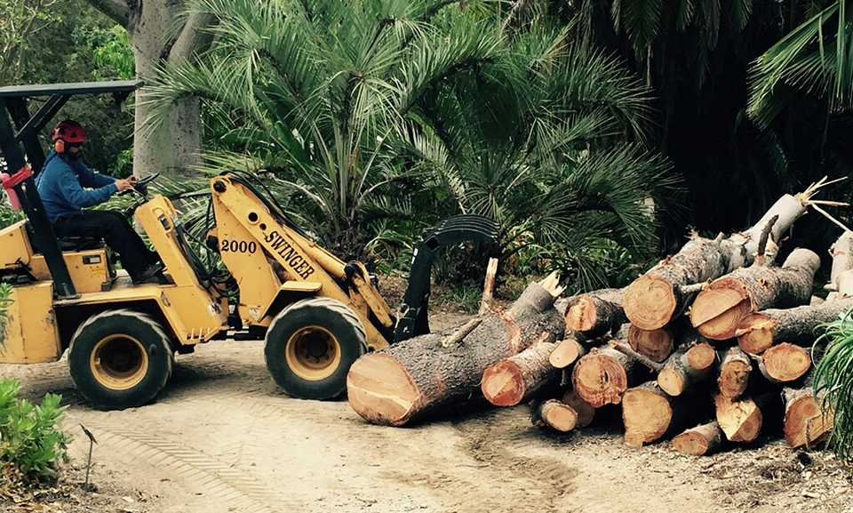 Lumber from a diseased historic Torrey pine tree is collected June 29 as the tree is removed at the San Diego Botanic Garden in Encinitas. (San Diego Botanic Garden photo)