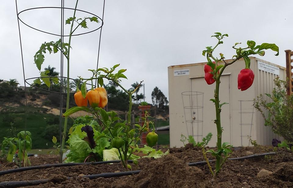 Peppers are growing at the new Encinitas Community Garden, pictured Oct. 15. After years of work, organizers celebrated the garden's grand opening Oct. 3. (Photo by Susan Whaley)