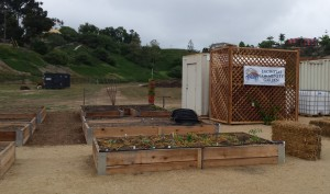 The first plots are beginning to sprout at the new Encinitas Community Garden, pictured Oct. 15. (Photo by Susan Whaley)