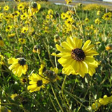 Native flowers bloom in the San Elijo Lagoon Reserve. (Lagoon Conservancy photo)