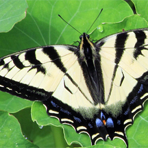 San Elijo Lagoon butterfly. (Photo courtesy of San Elijo Lagoon Conservancy)