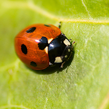 ENCINITAS: Ladybug festival July 21 at Botanic Garden