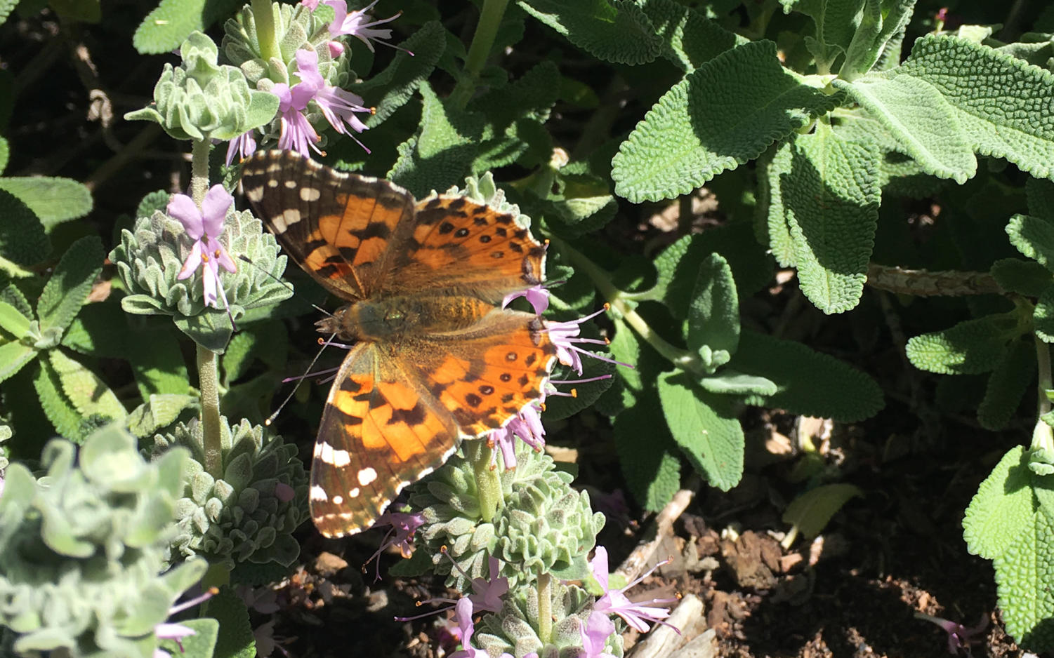 A painted lady butterfly rests on a native sage plant in the front yard of an Encinitas home on Thursday, March 14. (Photo by Roman S. Koenig, North Coast Current)
